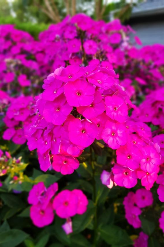 Flammenblumen in unserem Garten