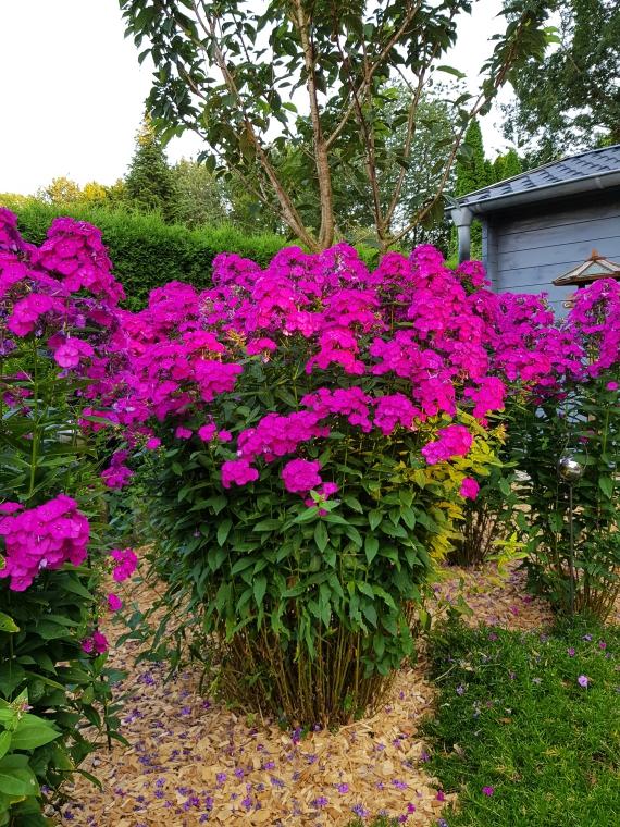 Flammenblumen kennt Ihr vielleicht eher unter ihrem botanischen Namen Phlox