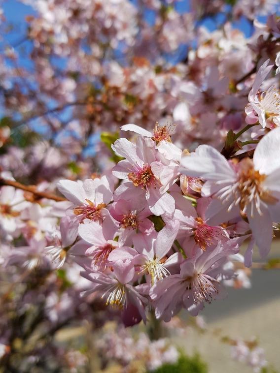 Je nach Wetterlage beginnt die Blüte der Zierkirsche gegen Mitte bzw. Ende April