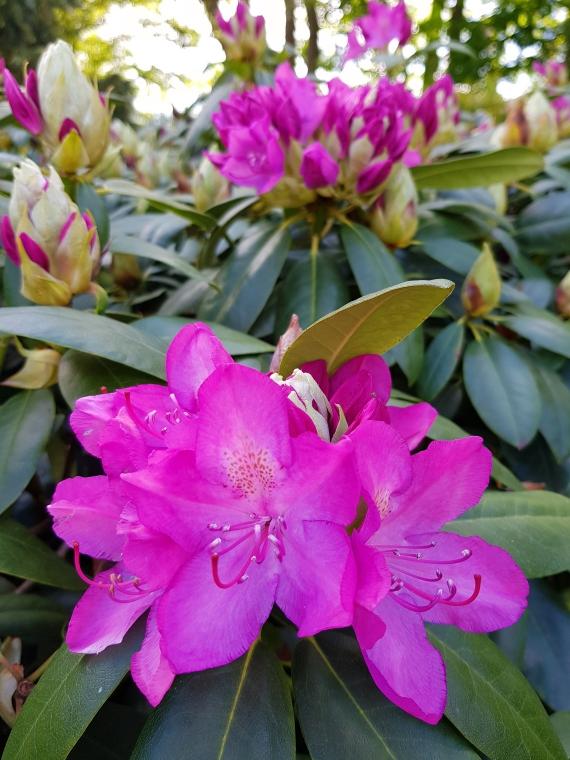 Blühende Rhododendren in unserem Garten